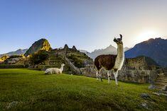 Stock-Foto : Lamas an der ersten Ampel in Machu Picchu, Peru Machu Picchu, Celebrity Cruises, Peru Travel, Green Mountain, Mountain Range, Galapagos Islands, Life Is An Adventure, Amazing Destinations, Princesses