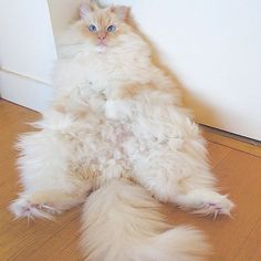 This Cat's Majestic Fluff Makes It Look Like A Cloud