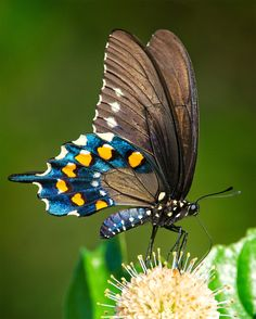 Pipevine Swallowtail by Kenton Miller on 500px