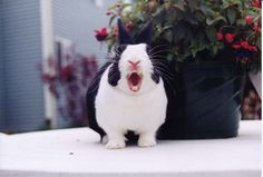 Rabbit yawning 09