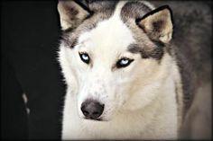 Uriah: Siberian Husky, Dog; Anderson, IN