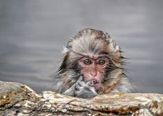 Baby Monkey in Hot Springs - A little baby monkey soaking in hot springs in wilderness. Jigokudany Snow Monkey park, Nagano, Japan.