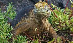 The dragon of Galapagos https://www.facebook.com/fantastic.inspiring.wonders/photos/a.1394042530831625.1073741827.1394002727502272/1519978148238062/?type=1