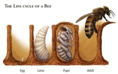 Le cycle de vie d'une abeille. Dans la première cellule, l'oeuf. Dans la deuxième, la larve. Dans la troisième, la pupe. Et finalement, dans la dernière cellule. on voit l'abeille qui prend son envol... On découvre également sur ce site une panoplie de faits intéressants à lire à propos des abeilles.