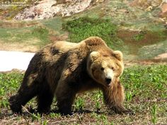 The Kamchatka brown bear or Ursus arctos beringianus is closely related to the Alaskan brown bear. It is also known as the Far Eastern brown bear and is possibly an ancestor of the Kodiak bear. It was classified as an Ursus arctos subspecies in 1851 by zoologist Alexander von Middendorff .