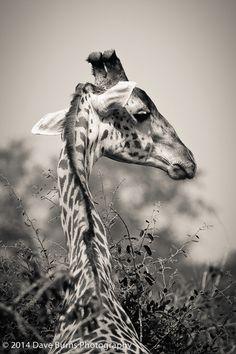 Giraffe Looking Right