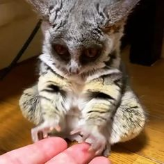 A very small bush baby yawn : aww Cute Little Animals, Cute Funny Animals, Cute Cats, Big Cats, Funny Looking Animals, Cute Wild Animals, Funny Owls, Cute Animal Videos, Cute Animal Pictures
