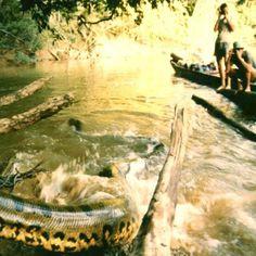 A giant Anaconda surprises tourists at the Yasuní National Park #yasuni #yasuniitt | Flickr: Intercambio de fotos