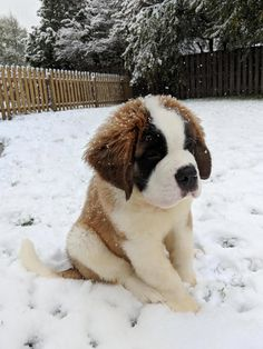 First snowfall first snowfall baby st bernard, st bernard puppy, cute dogs Chien Saint Bernard, St Bernard Puppy, Baby St Bernard, Cute Baby Animals, Animals And Pets, Funny Animals, Easy Animals, Cute Dogs And Puppies, Baby Puppies