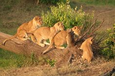 Did you know in the wild, lions live for an average of 12 years and up to 16 years.