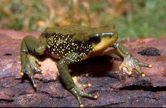 Atelopus peruensis; Peruvian Harlequin Frog