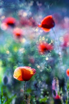 Poppies by Norbert G on 500px