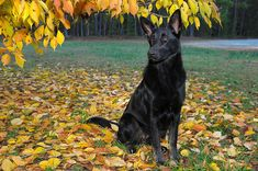 All black German Shepard