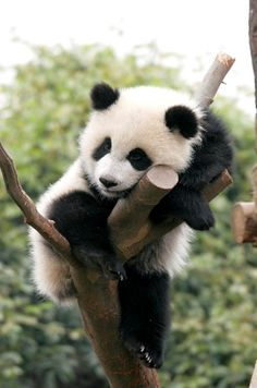 'I'll just rest here' - Adorable Baby Panda on its First Climb up a Tree