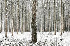 Martin Brent - Snow Trees IV on www.eyestorm.com