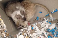Look at these adorable little gerbils ❤️ can a gerbil cute any cuter? See more pictures at ohanagerbils.com Gerbil, Ohana, More Pictures, Fur Babies, Cute, Baby, Animals, Animais, Animales