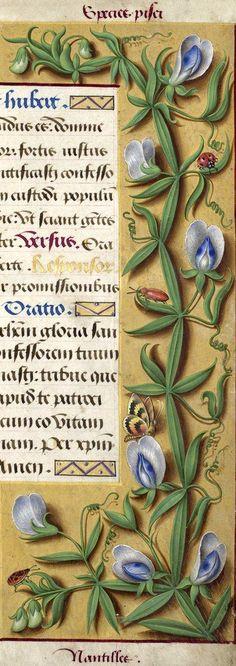 Nantilles - Species pisei (Lathyrus sylvestris L. ou L. latifolius L. = gesse bleue) -- Grandes Heures d'Anne de Bretagne, BNF, Ms Latin 9474, 1503-1508, f°192r