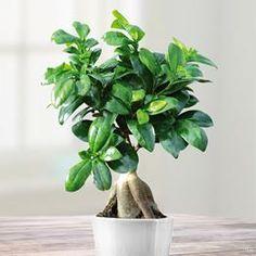 Ficus Retusa (microcarpa) Ginseng - 1 plant
