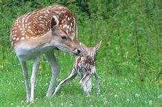 Baby deer pictures - Yahoo Search Results Yahoo Image Search Results