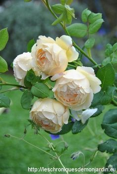'Wollerton Old Hall' English roses