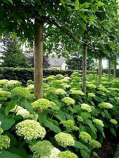 shades of green pleached avenue, underplanted with hydrangeas