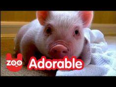 Meet Chris P. Bacon: The Pig In A Wheelchair