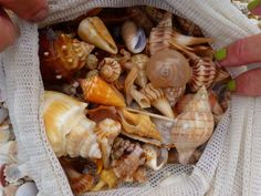 All Types of Seashells | ... cone along with a fantastic assortment of all types of seashells