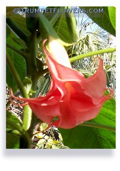 how to take cuttings from brugmansia