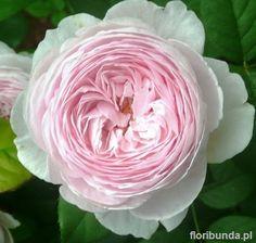 Queen of Sweden (Austiger)  grew in pot - small flowers, blew fast