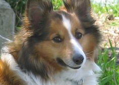 Dog Day -- Busse Woods Forest / Lake -- Lacey -- Sheltie