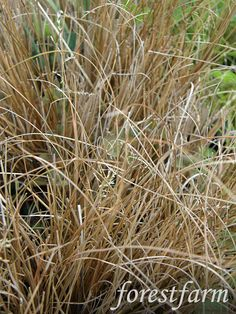 Carex comans - Chocolate Sedge - Grasses, not planted