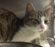 CARSON is an adoptable Bobtail Cat in Philadelphia, PA. Carson is a gorgeous bob-tail, tabby and white in coloring, medium size adult. He is very mellow and content just laying around and chilling. He...