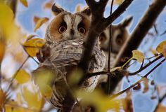 Long-eared owl - Found in North America, Europe and Asia, the long-eared owl takes up residence in the abandoned nests of similarly sized birds such as hawks, ravens or magpies.