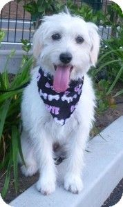 We adopted her! She's amazing!   Wheaten/poodle mix - the rescue places said, but who knows? We're so happy!