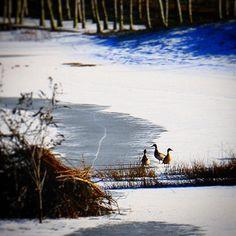 Øv vi kan ikke komme i vandet... #beautiful #outdoor #nature #landscape #bestofscandinavia #worldunion #wu_europe #igers #igdaily #igscandinavia #danmark #nofilter #vsco #vscocam #picoftheday #photooftheday #instagood #instamood #instadaily #assens #assensnatur #visitassens #visitdenmark #instapic #instagram #friluftsliv #snow #winter #duck