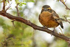 Monterita canela [Poospiza ornata] Cinnamon warbling-finch | mis fotos de aves