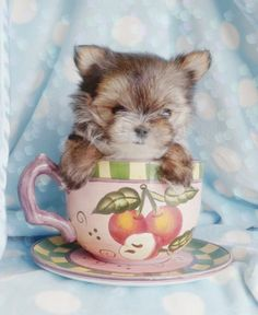 Cutest. Puppy. Ever. Teacup Morkie.  #morkie #teacup #puppy