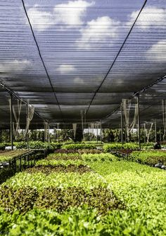 Hydroponic gardening .. this is a green house!