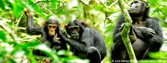 Tracking Chimps Through the Trees of Uganda - Earthwatch Institute