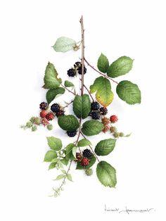 Summer blackberries: Vincent Jeannerot