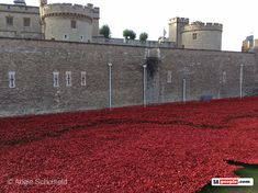 tower-of-london-poppies Tower of London installation consists of hand-made Ceramic poppies, each representing a British Military death during the First World War. The poppies have all been sold at each Ceramic Poppies, Remembrance Day Poppy, Tower Of London, First World, Soldiers, World War, Death, British, Journey
