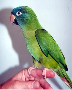 Blue Crown Conure...I want one so bad!