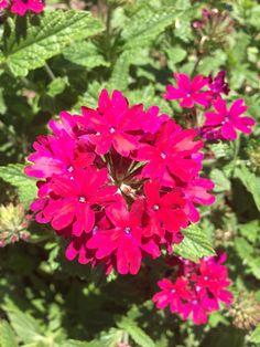 VERBENA bettys red Large Flowers, Cut Flowers, Rock Wall Gardens, Soil Ph, Clay Soil, Verbena, Drought Tolerant, Hanging Baskets, Beautiful Flowers