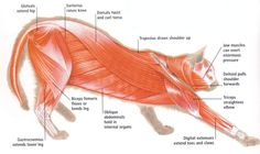 Cats have powerful muscles which are used in leaping, running and in twisting to a good landing position when they fall.