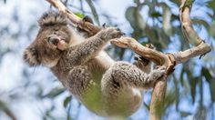Australian animals: the koala - Tourism Australia Drop Bear, Baby Bulldogs, Lego Girls, Art Therapy Projects, Australia Animals, Kangaroo Island, Nature Spirits, Sailor Scouts, Cute Animals