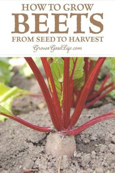 How to Grow Beets from Seed to Harvest: Beets do double-duty in the kitchen, producing tasty roots for canning, roasting, or boiling and fresh greens for salads, soups, and sautéing. Visit for tips for growing beets plus types of beets to consider adding to your vegetable garden. #vegetablegarden #beets