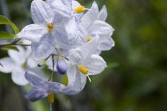 Solanum jasminoides: planter et cultiver – Ooreka