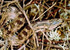 La culebra lisa meridional (Coronella girondica) es una especie de serpiente de la familia Colubridae propia de Italia, el sur de Francia, la península Ibérica y el norte de Magreb. Habita tanto los parajes de bosque y matorral mediterráneos como los campos de cultivo.