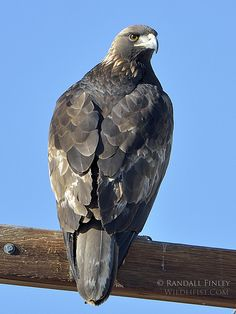 Golden #Eagle #BirdsofPrey #BirdofPrey #Bird of Prey