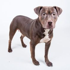 Petango.com – Meet Bissum, a 3 years 5 months Terrier, American Pit Bull / Mix available for adoption in DECATUR, GA
